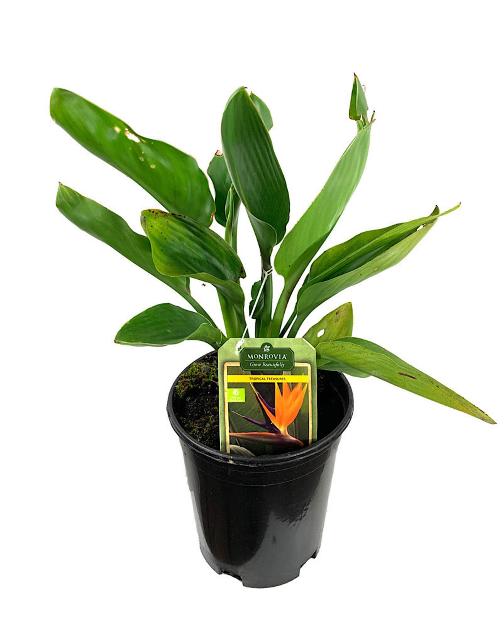 Strelitzia reginae 1 Gallon