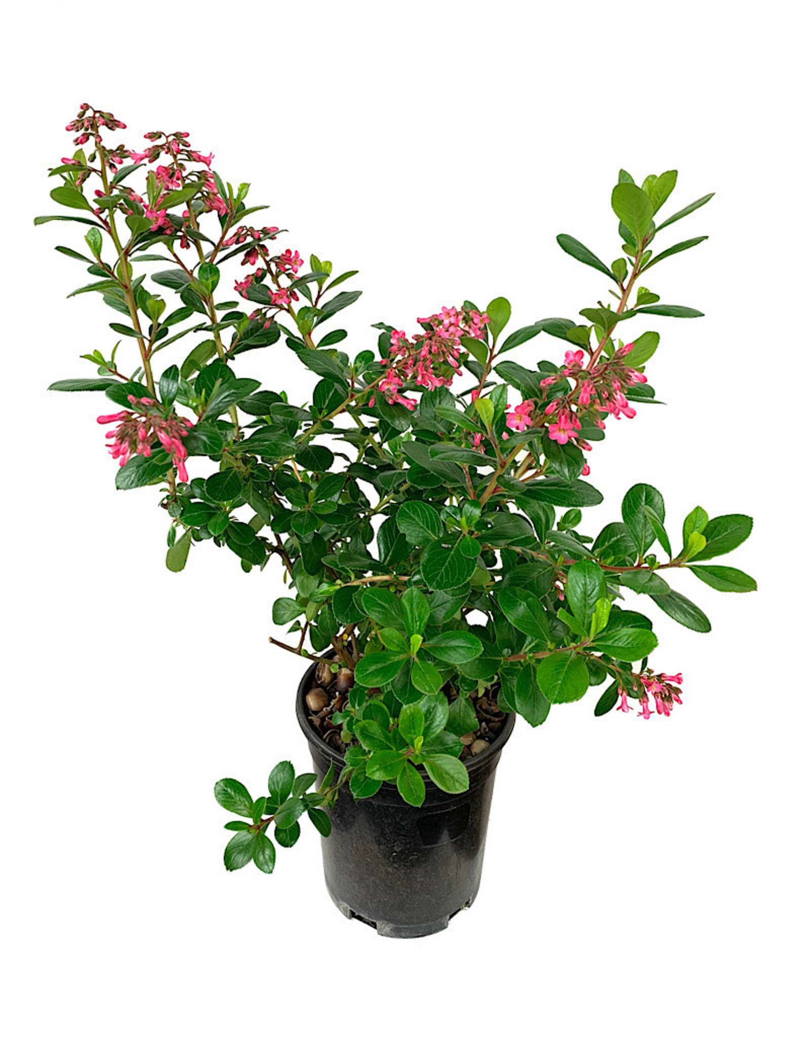 Escallonia 'Fradesii' 1 Gallon