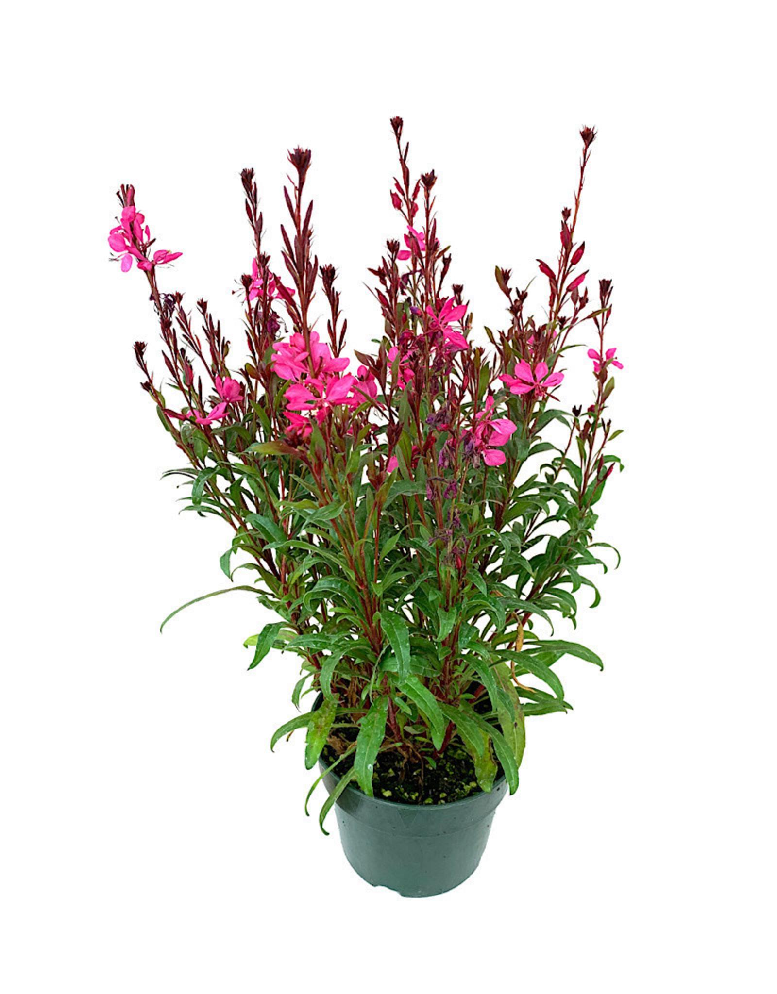Gaura 'Belleza Compact Light Pink' 6 Inch