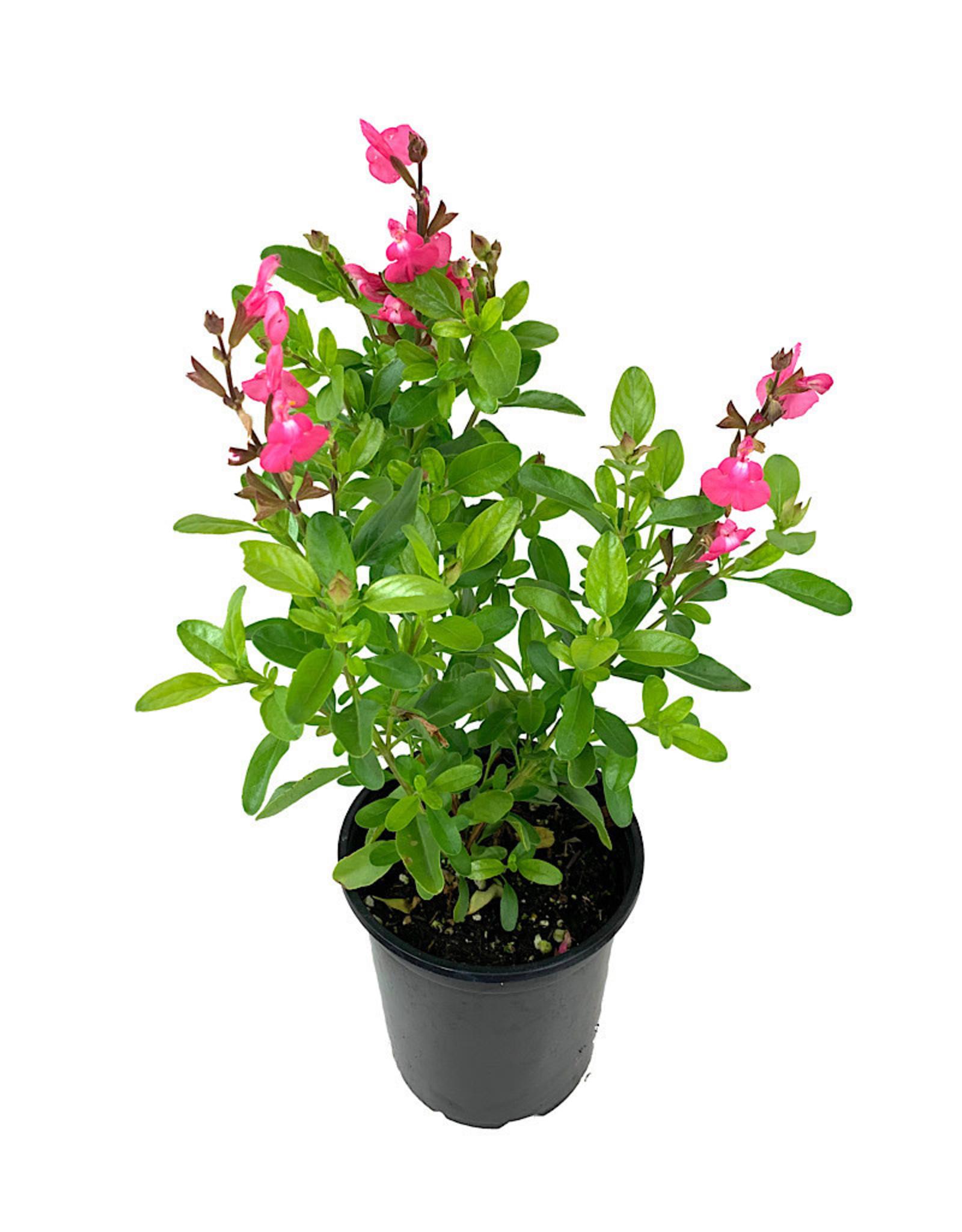 Salvia 'Mirage Pink' Quart