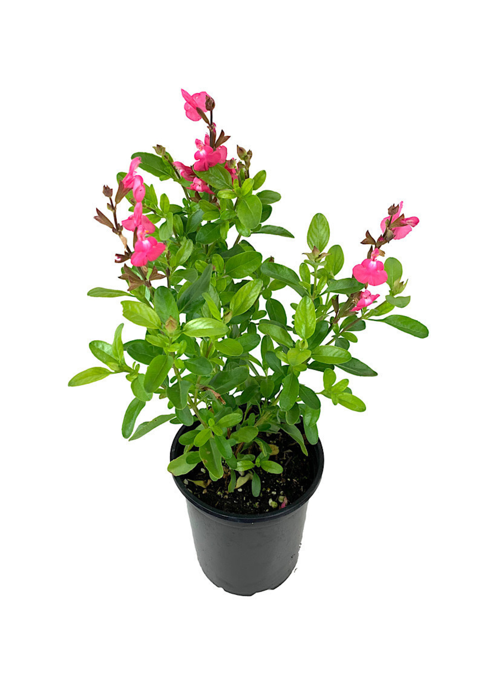 Salvia greggi 'Mirage Pink' Quart