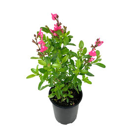 Salvia 'Mirage Pink' Quart