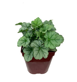 Heuchera 'Little Cuties Shimmer' Quart