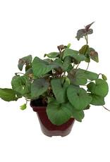 Viola Labradorica 4 Inch