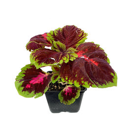 Coleus 'Kong Red' 4 Inch