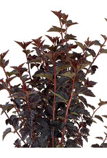 Physocarpus 'Burgundy Candy' 3 Gallon