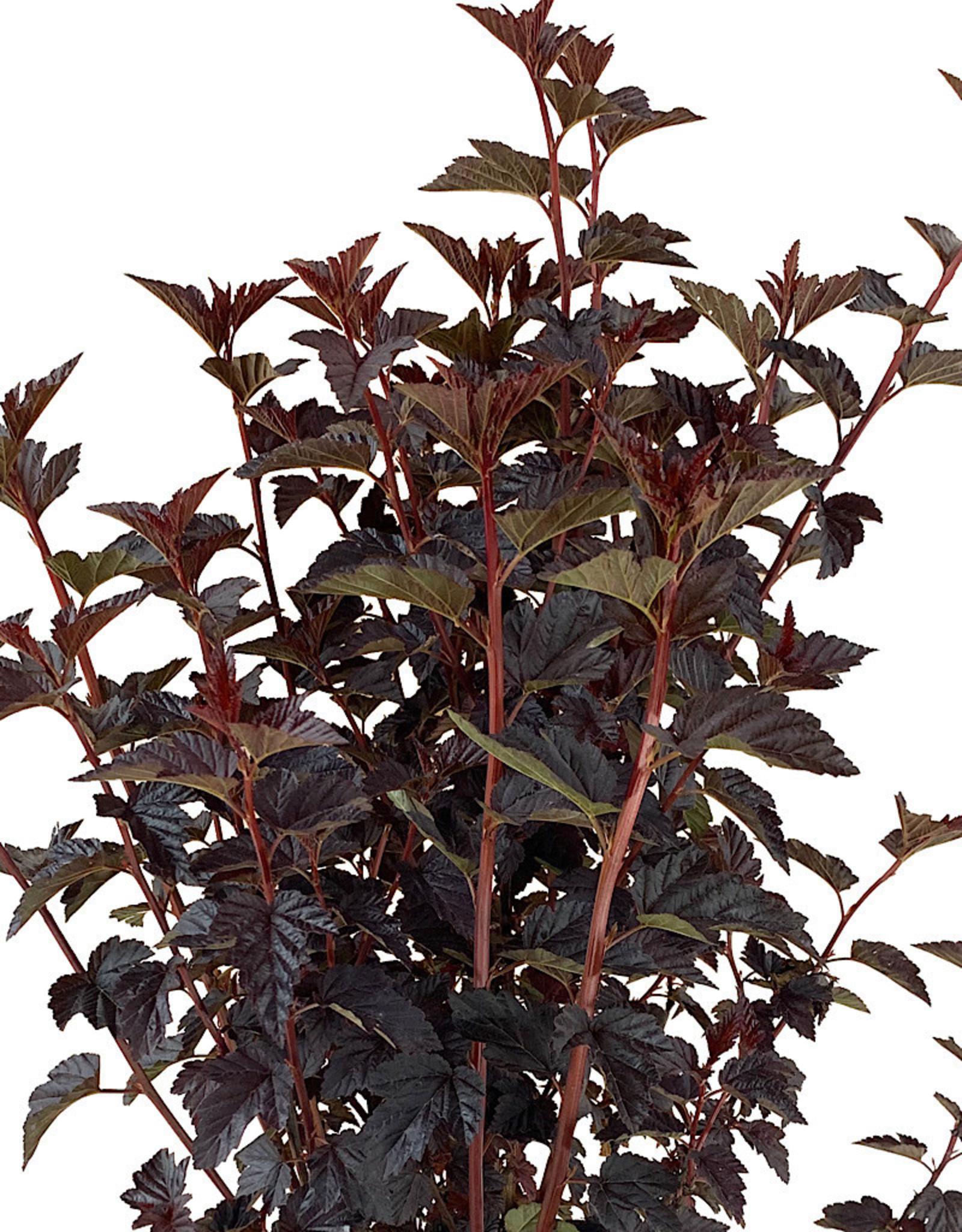 Physocarpus 'Burgundy Candy' 3 Gal