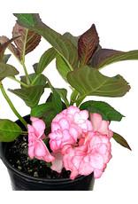 Hydrangea m. 'Miss Saori' 1 Gallon