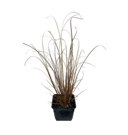 Carex 'Red Rooster' 4 inch