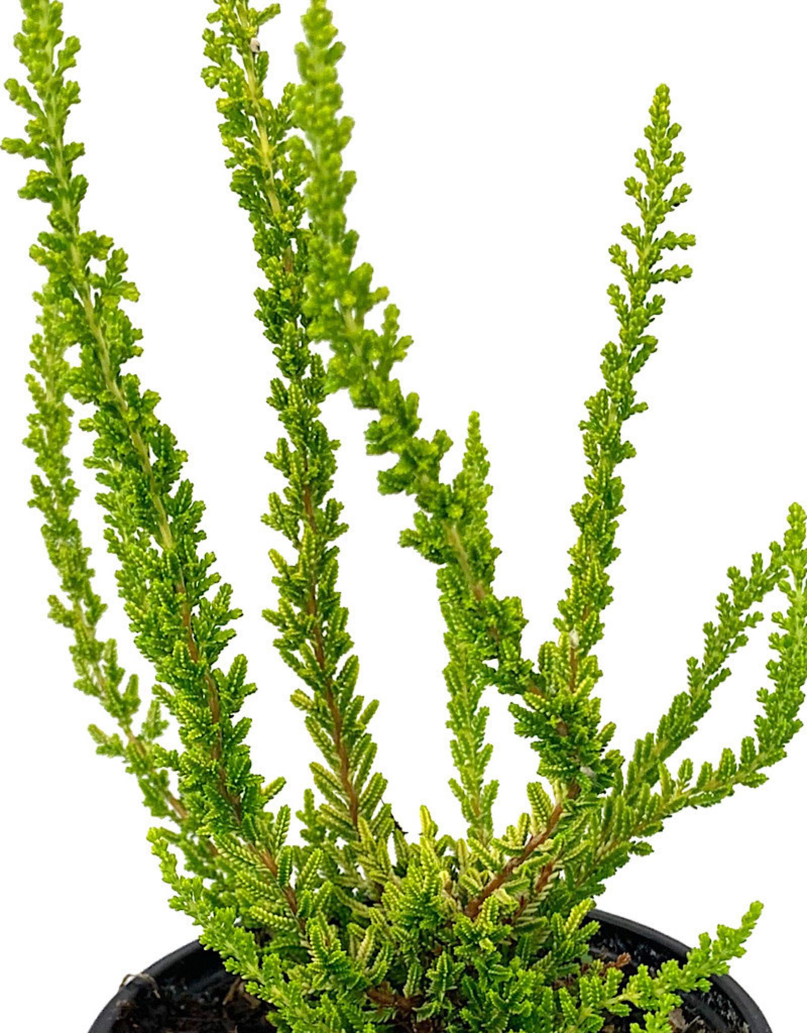 Calluna vulgaris 'Zeta' 4 inch