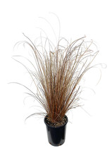 Carex 'Red Rooster' 1 Gallon