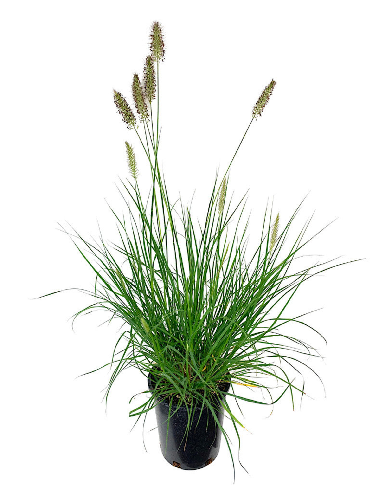 Pennisetum alopecuroides 'Hameln' 1 Gallon