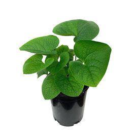 Brunnera macrophylla 1 Gallon