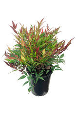 Nandina domestica 'Burgundy Wine' 1 Gallon