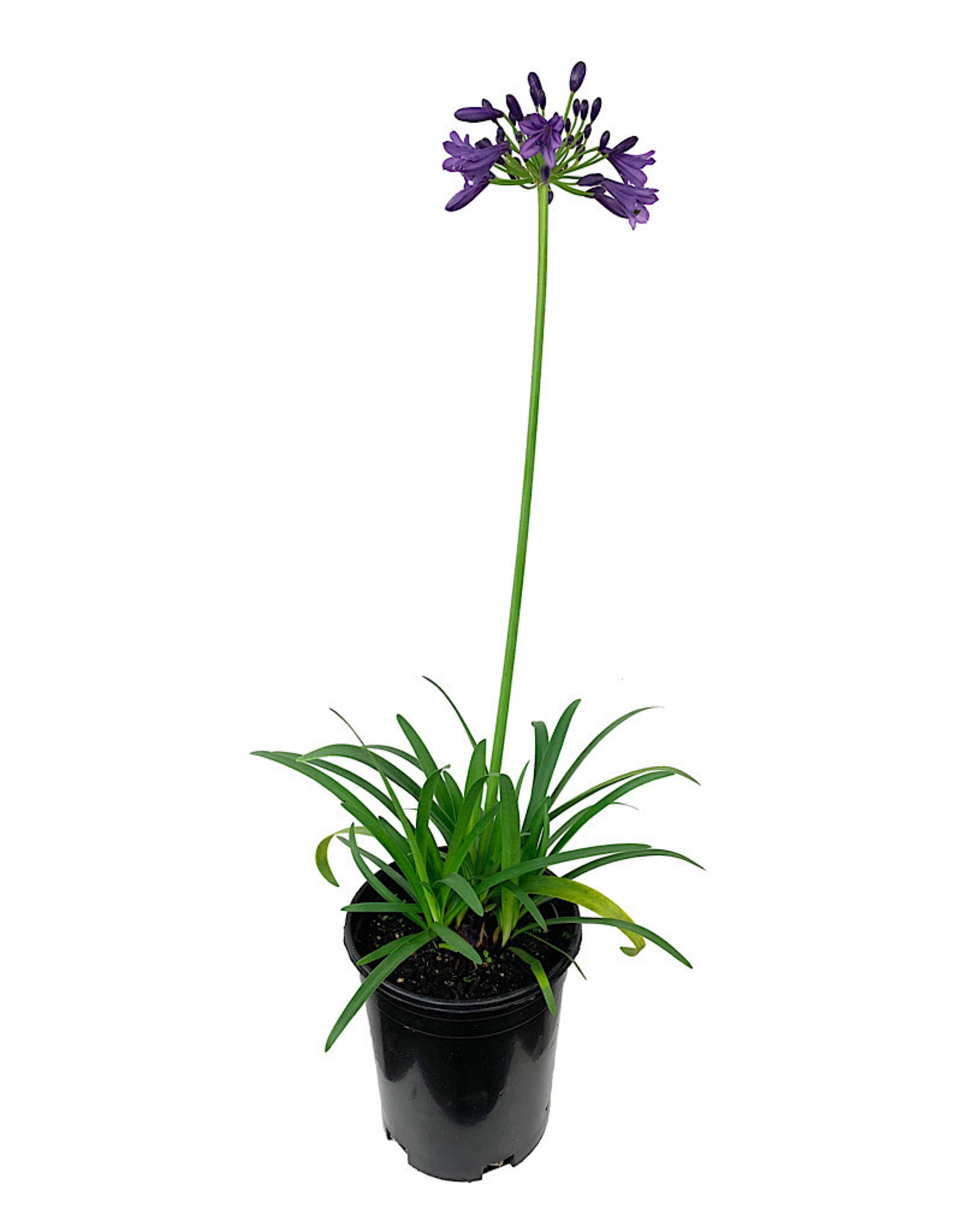 Agapanthus 'Ever Amethyst' 1 Gallon