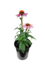 Echinacea 'Pica Bella' 1 Gallon