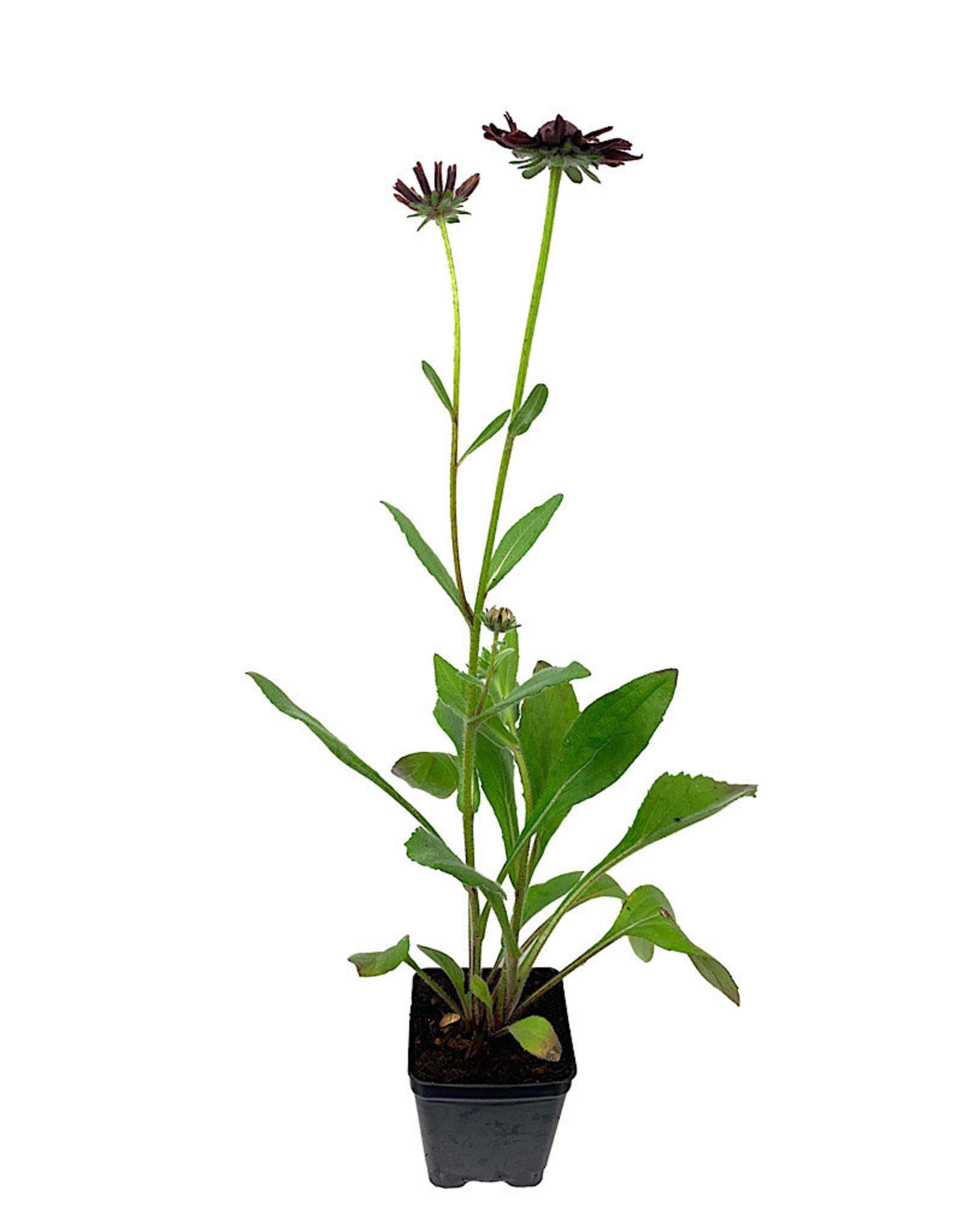 Rudbeckia 'Cherry Brandy' 4 Inch