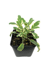 Sage 'White Edged' 4 inch