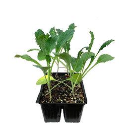 Kale 'Nero di Toscana' Jumbo Traypack