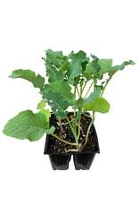Broccoli 'Waltham' Jumbo Traypack