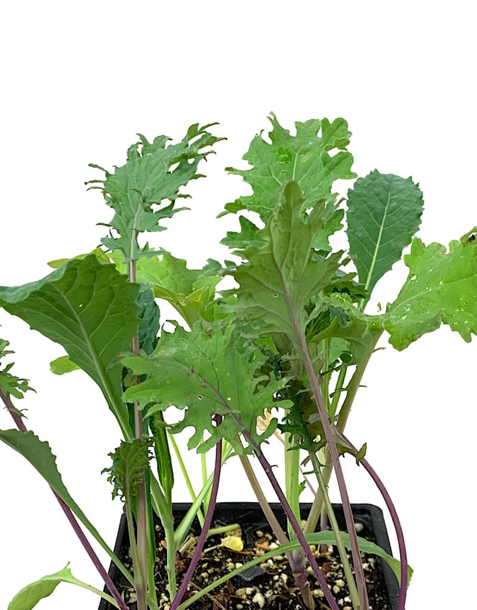 Kale 'Gourmet Mix' Jumbo Traypack