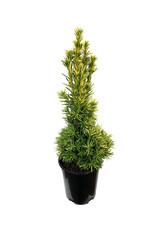 Taxus baccata 'Stricta Aurea' 1 Gallon