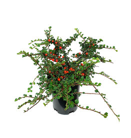 Cotoneaster apiculatus 'Cranberry' 1 Gallon