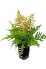 Dryopteris erythrosora 'Brilliance' 1 Gallon