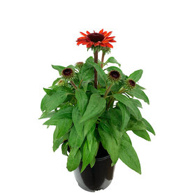 Echinacea 'Sombrero Sangrita' 1 Gallon