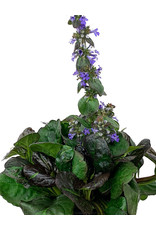 Ajuga 'Catlin's Giant' 1 Gallon