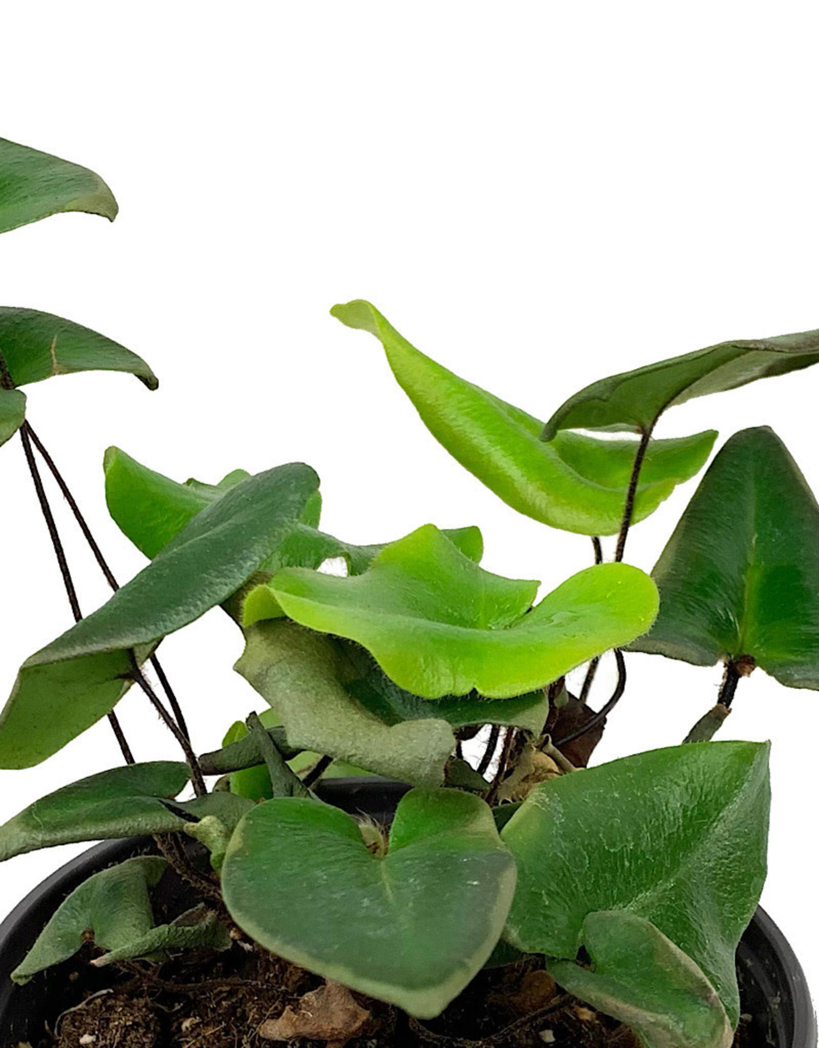 Hemionitis arifolia 4 Inch