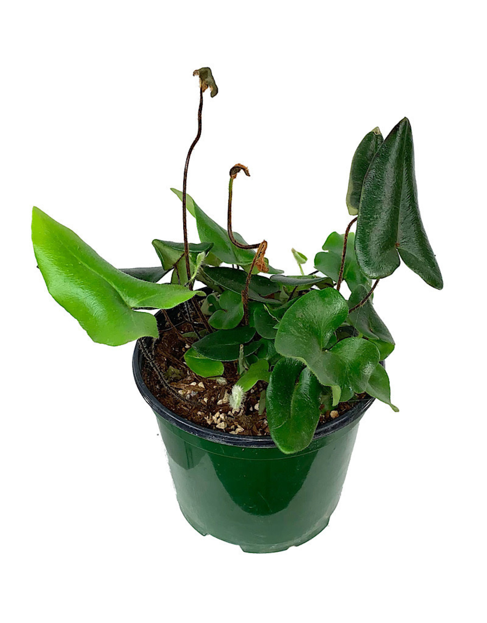 Hemionitis arifolia - 6 Inch