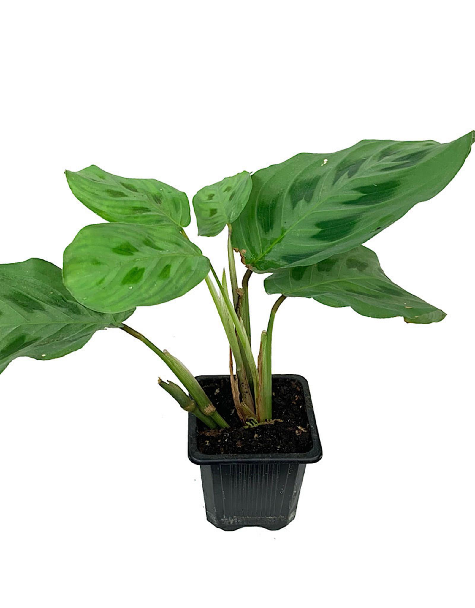 Maranta 'Prayer Plant' 3 Inch