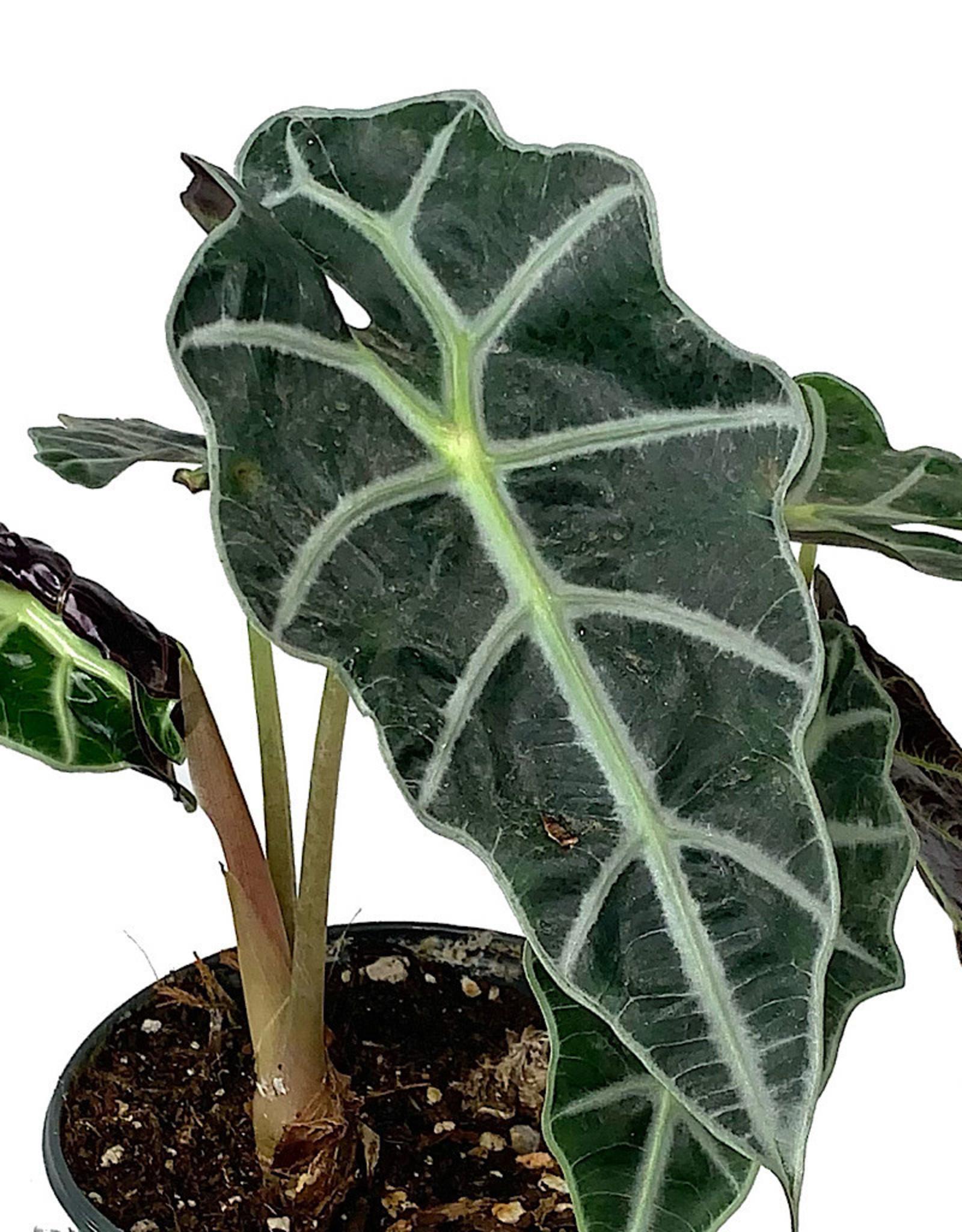 Alocasia 'Dwarf Amazonica' 6 inch