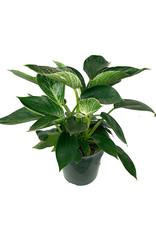 Philodendron 'Birkin' 6 Inch