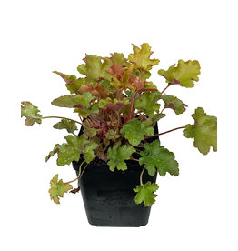 Heuchera 'September Morn' Quart