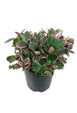 Gaultheria procumbens 'Winter Splash' Quart