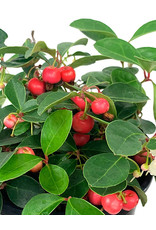 Gaultheria procumbens 'Cherry Berries' Quart