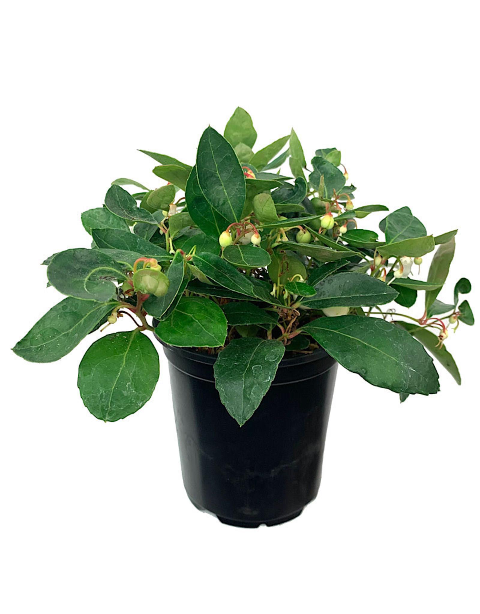 Gaultheria procumbens 'Winter Fiesta' Quart