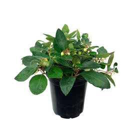 Gaultheria procumbens 'Winter Fiesta' Quart