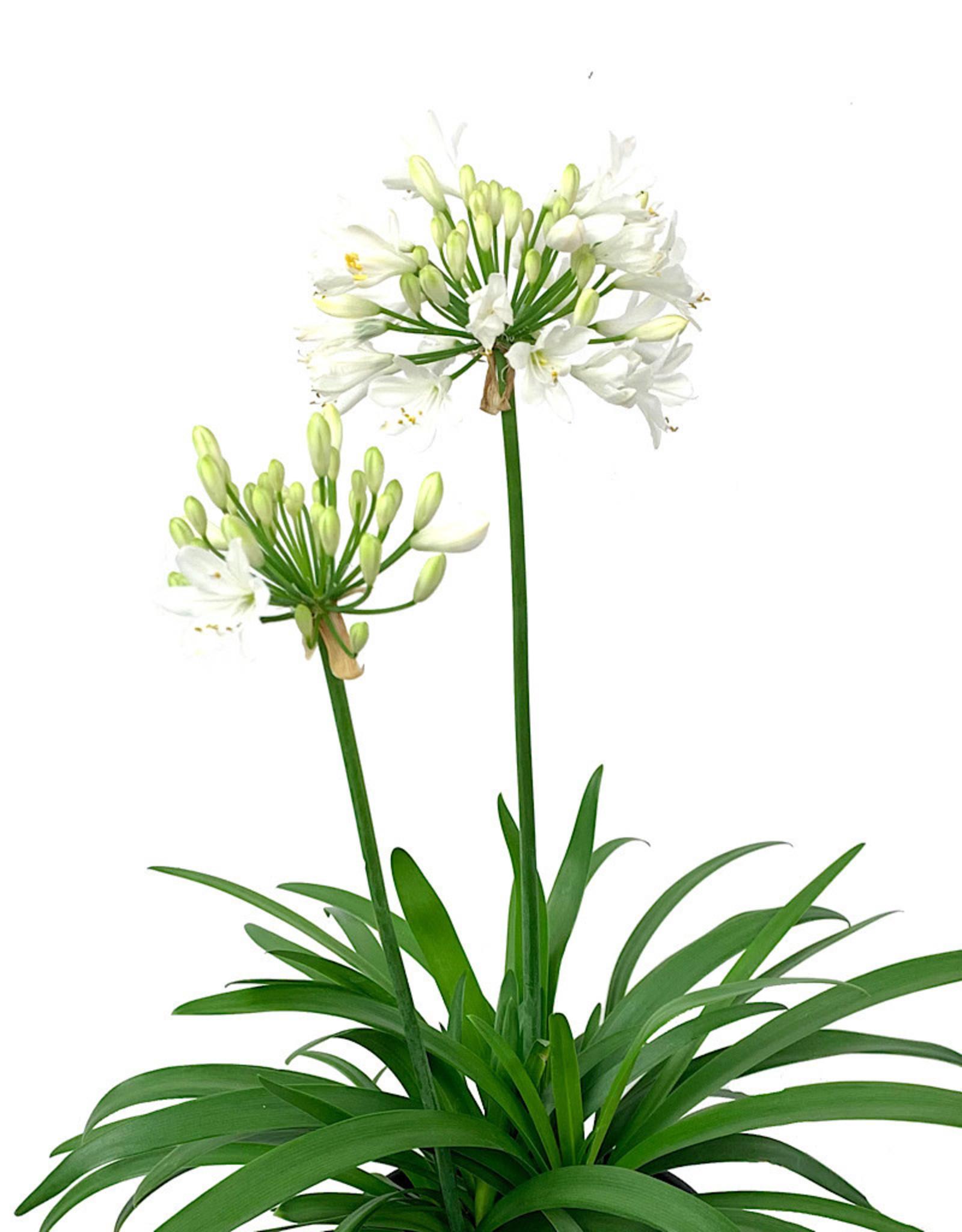 Agapanthus 'Ever White' 1 Gallon