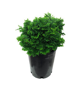Chamaecyparis obtusa 'Dainty Doll' 1 Gallon