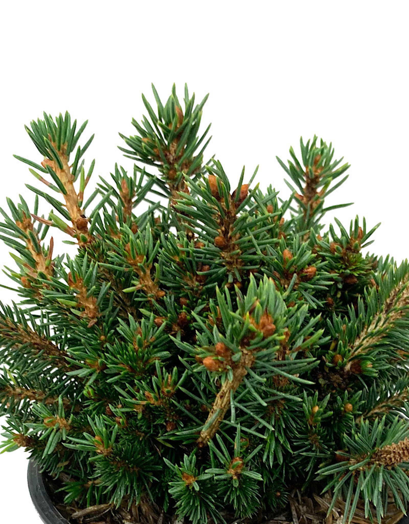 Picea abies 'Jessy' 4 Inch