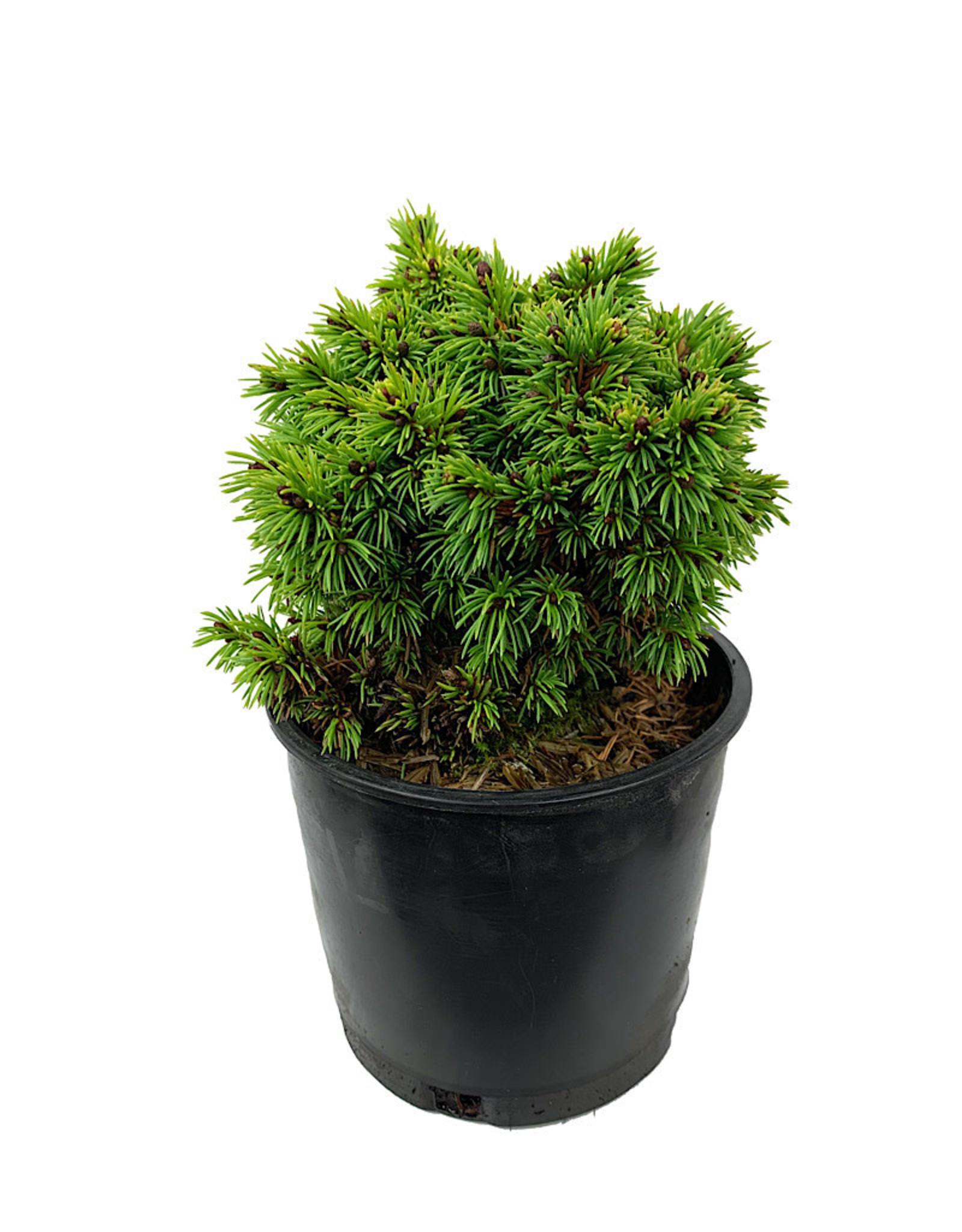 Picea glauca 'Elf' 4 Inch