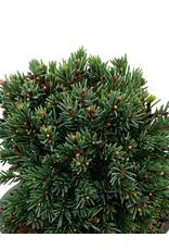 Picea glauca 'Echiniformis' 4 Inch