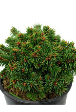 Picea abies 'Thumbelina' 4 Inch