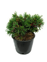 Picea abies 'Mikulasovice' 4 Inch