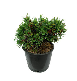Picea abies 'Mikulasovice' 4 Inch