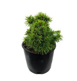Picea abies 'Jana' 4 Inch