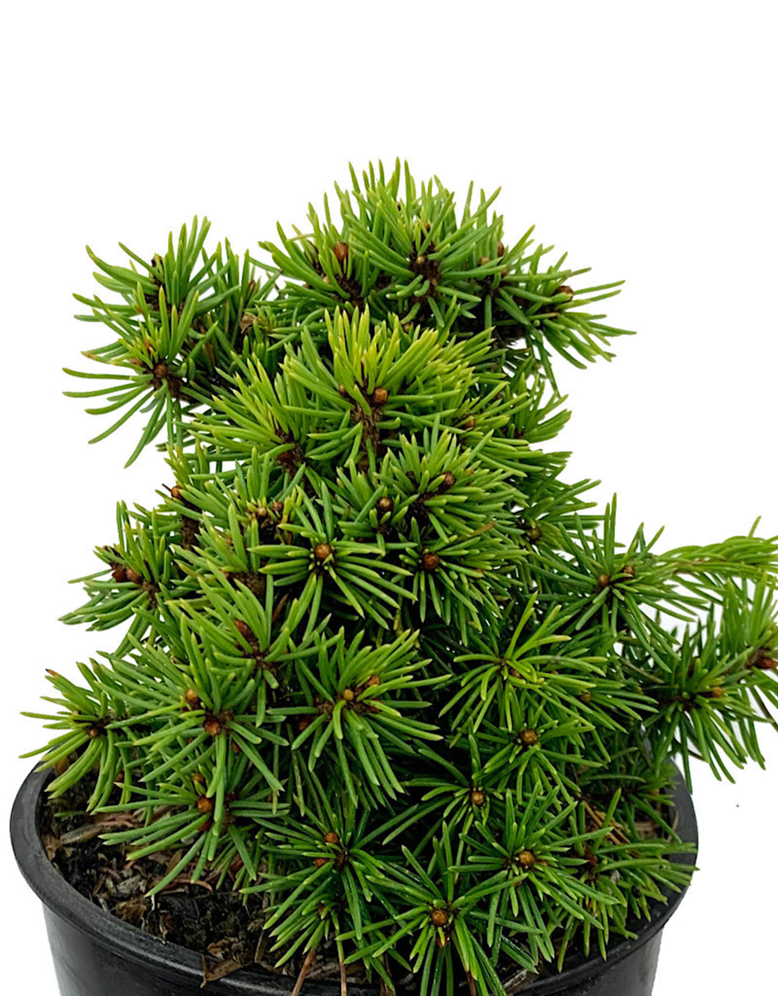 Picea abies 'Jana' 4 Inch